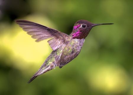Colibrí de Anna en vuelo, Color, Día