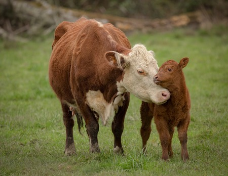 momma: Momma Cow and Calf Sharing a Nuzzle