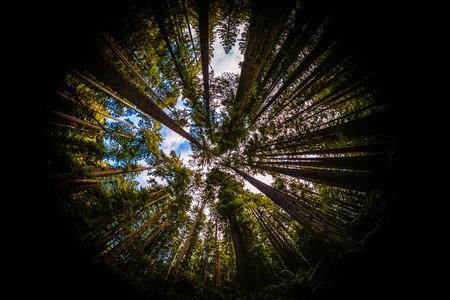 fisheye: Redwood Forest Fisheye, Color Image, Northern California, USA