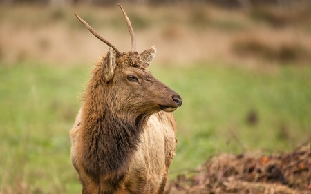 elk point: Bull Elk Grazing for Food, Color Image, Northern California, USA Stock Photo