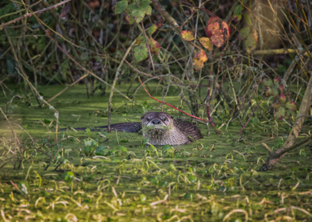 River Otter Swimming in Green Mossy Water, Color Image, Day
