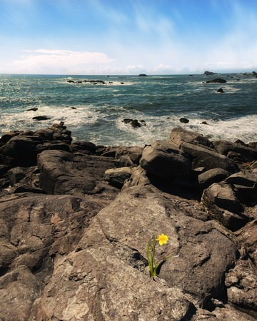 Daffodil Flower Growing From Rock Overlooking Pacific Ocean, Color Image, Day