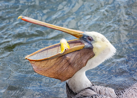 A Pelican Eating a Fish for Lunch. Color Image, Day