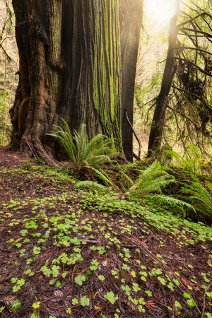 Sunlight in the Redwood Forest Stock Photo