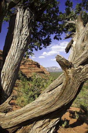 gnarled: Nudosos �rboles en Boynston Canyon cerca de Sedona  Foto de archivo