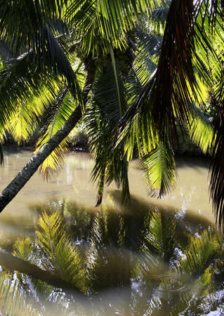 overhanging: Palm tree overhanging a murky river