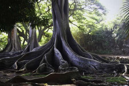Dramatic Moreton-Bay Fig Tree Stock Photo - 2300277
