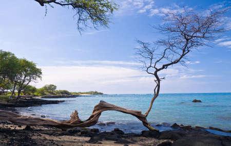 gnarled: Hawaiano Playa enmarcada por un solo �rbol nudosos