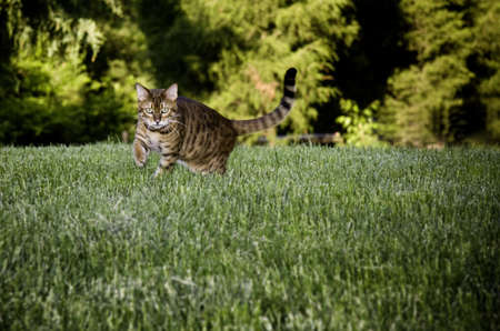 dramatically: Bengal cat breed dramatically stalking the camera through the grass