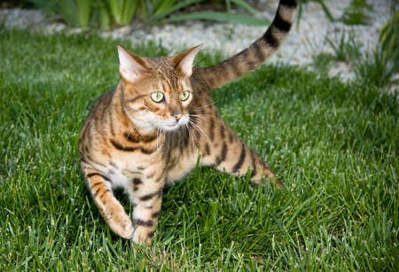 Close up of bengal cat in the grass in an interesting pose photo