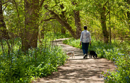 walking path: Middle aged lady with two small puppies on a walk through the bluebells by the side of the Potamac rive