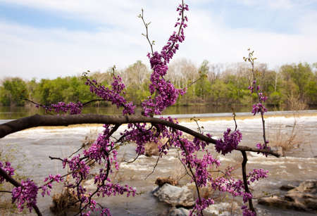 churning: The dam on the Potomac river by Great Falls with spring blossom in foreground Stock Photo