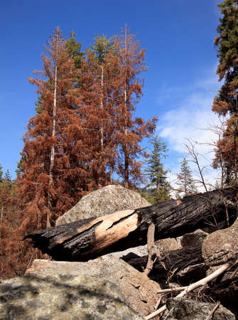 Blackened trunks show the signs of raging forest fire photo