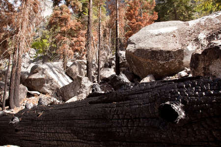 Blackened trunks show the signs of raging forest fire