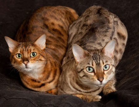 Lovely pair of bengal cats staring straight at the camera from their seat photo
