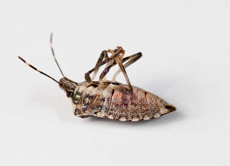 shield bug: Stink bug or Shield bug lying on its back with its legs in the air Stock Photo