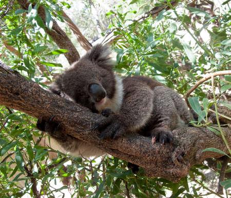 EUCALYPTUS: Close up of Koala Bear in Australian Eucalyptus tree
