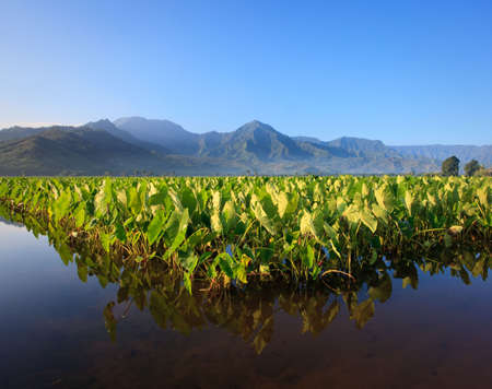 na: Reflection of Taro plants in Hanalei valley on Kauai with the Na Pali mountains in the background