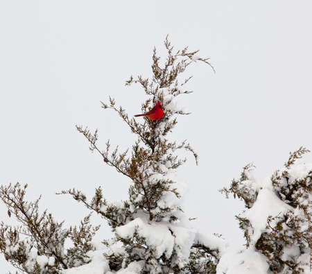 snow cardinal: Red Cardinal on branch of heavily loaded conifer