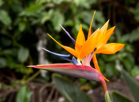 Bird of Paradise flower against a blurred background with small ants on the petals photo