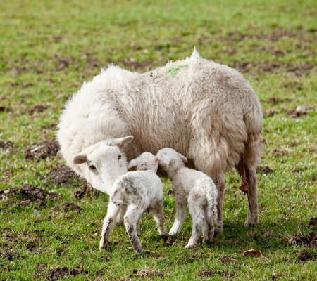 Pair of new born lambs with the sheep mother in welsh meadow in spring Stock Photo - 6709671