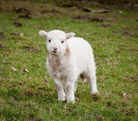 Young newly born lamb in meadow in Wales photo
