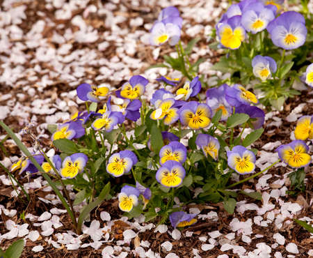 Springtime plans with small colorful viola rising among the fallen petals from cherry blossom trees