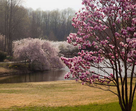 Colorful magnolia tree in the foreground with cherry blossoms surrounding a lake