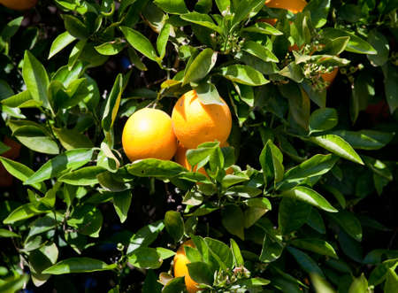 Bright oranges growing on a tree in California orchard Stock Photo - 7093667