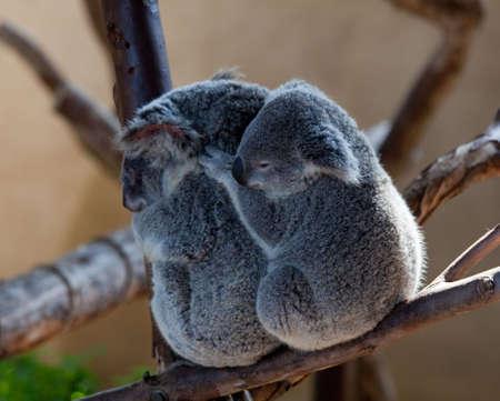 koalabeer: Australische Koala beren knuffelen op een branch met de baby achter de moeder beer  Stockfoto