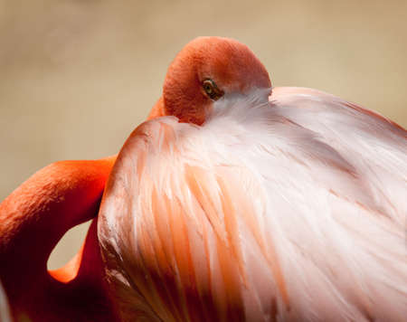 Unusual shot of a pink flamingo with its head in its plumage and staring at the camera Stock Photo - 7093664