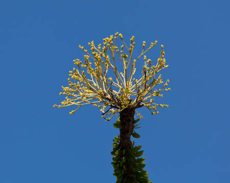 The Ocotillo cactus of Jacobs staff with bright yellow blossoms in spring