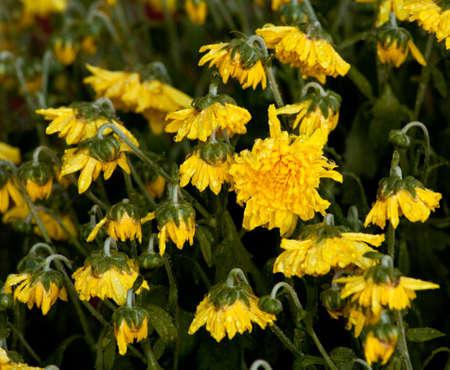wilting: Flores de Crisantemo amarillo marchitamiento en el calor y ser revivida por riego
