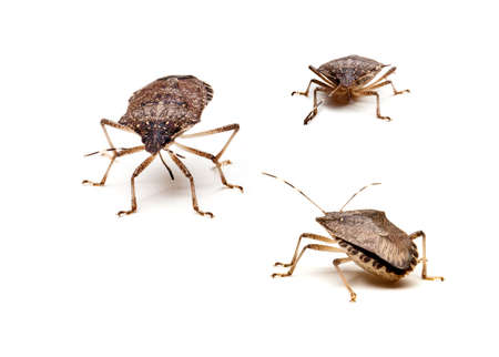 Three Brown Marmorated Stink Bug or Shield Bug isolated against white background Stock Photo - 8004059