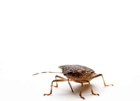 Brown Marmorated Stink Bug or Shield Bug isolated against white background photo
