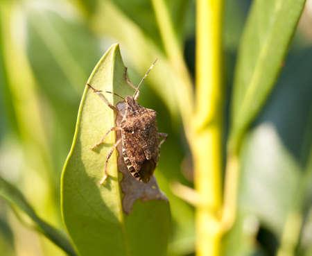 Shield bug on the leaf of a bush photo