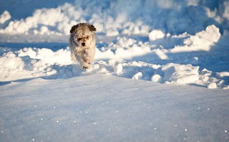 romp: Small Yorkiepoo dog jumping above deep snow Stock Photo