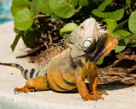 Male iguana doing a mating dance and raising its head to expose its plumage Stock Photo - 8466531