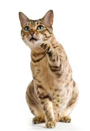 젊은 벵골 고양이 또는 새끼 고양이 일부 음식쪽으로 위쪽으로보고하는 동안 공중에서 clawing 스톡 콘텐츠 - 8521497