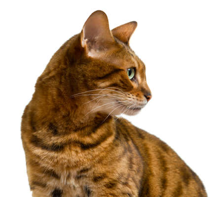 Young bengal cat or kitten looking sideways in a proud profile showing its wild history photo