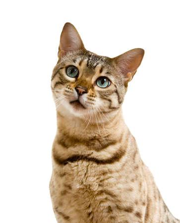 Jeunes du Bengale chat ou chaton regardant la caméra avec un visage triste lonesome
