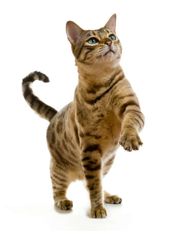 Young bengal cat or kitten clawing at the air while looking upwards towards some food photo