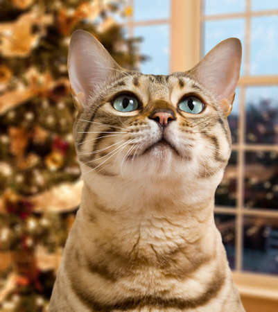 Small bengal kitten waiting pensively for santa claus by out of focus christmas tree photo