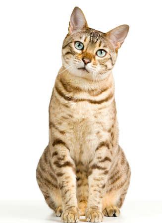 가벼운 갈색 및 크림 탄원과보고 벵골 고양이 광고 및 텍스트 공간에 뷰어에서 응시 볼 껀가