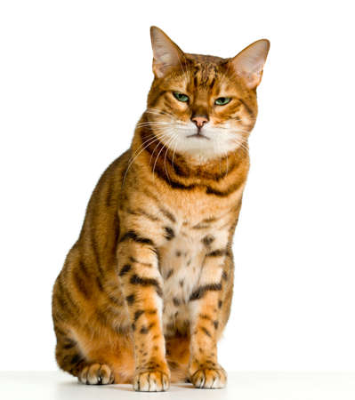 angry cat: Bengal cat in orange and brown stripes like a tiger looking with angry stare at the viewer with space for advertizing and text Stock Photo