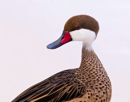 bahama: White-cheeked pintail or Bahama Duck on white sandy beach on St Thomas in US Virgin Islands