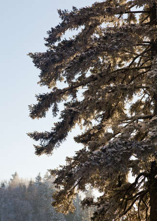Close up of pine or fir trees covered in snow in early spring as the sun is setting behind the tree photo