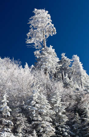caked: Famous Smoky Mountain view of pine or fir trees covered in snow in early spring