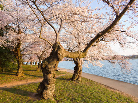 gnarled: Antiguo nudoso �rbol por Cuenca Tidal y rodeada de flores de cerezo japon�s rosas Foto de archivo