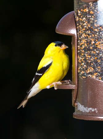 Hell gelb Stieglitz Essen aus der Eröffnung in eine moderne Vogelhäuschen mit sehr dunkel Out-of-Focus hintergrund Lizenzfreie Bilder - 9353046